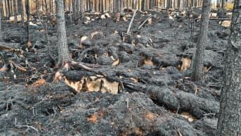 Metsäpalon jälkiä