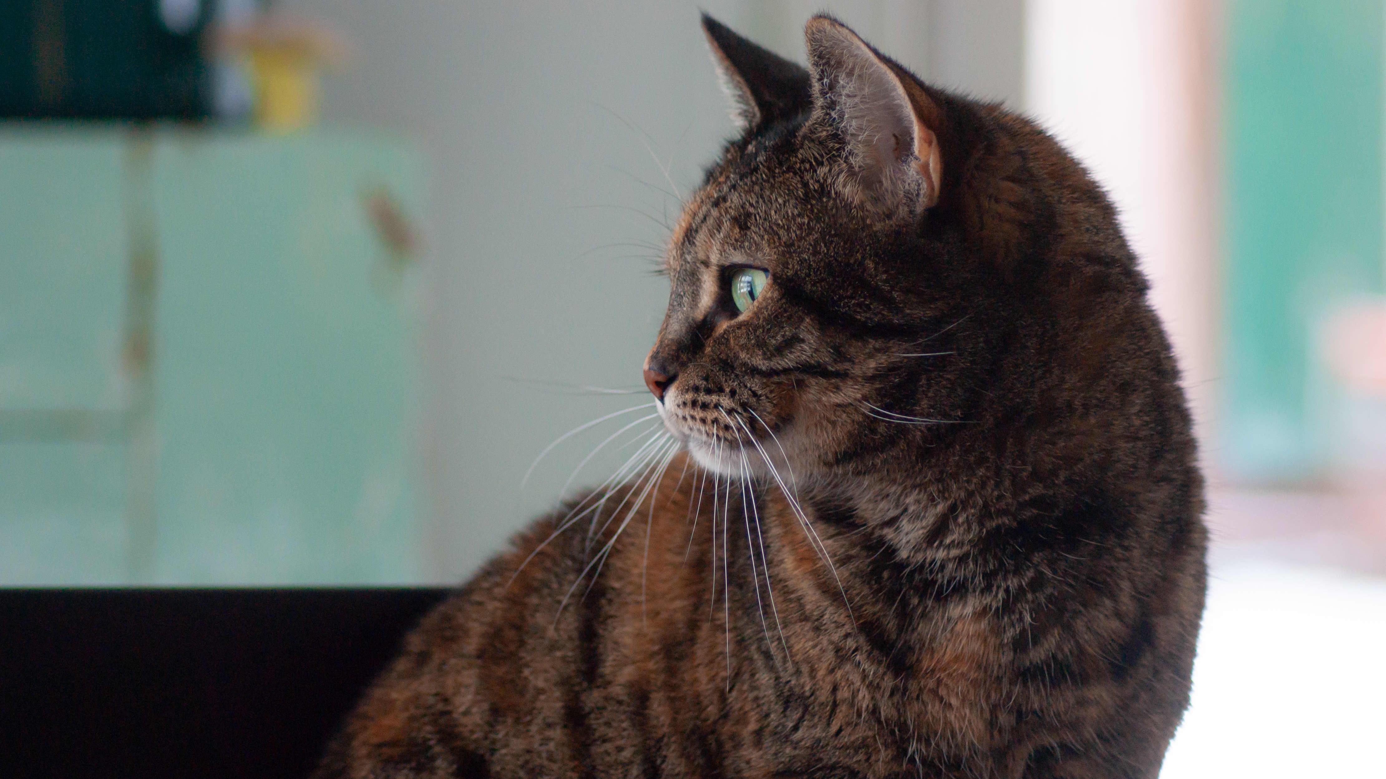 Kissa katselee ulos ikkunasta.