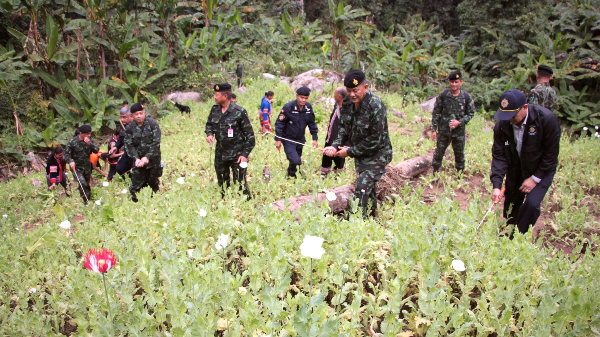 Kultaisen kolmion alue tunnetaan huumeiden tuotannosta ja salakuljetuksesta. Kuvassa Thaimaan poliisi tuhoaa oopiumunikkopeltoa vuonna 2017.