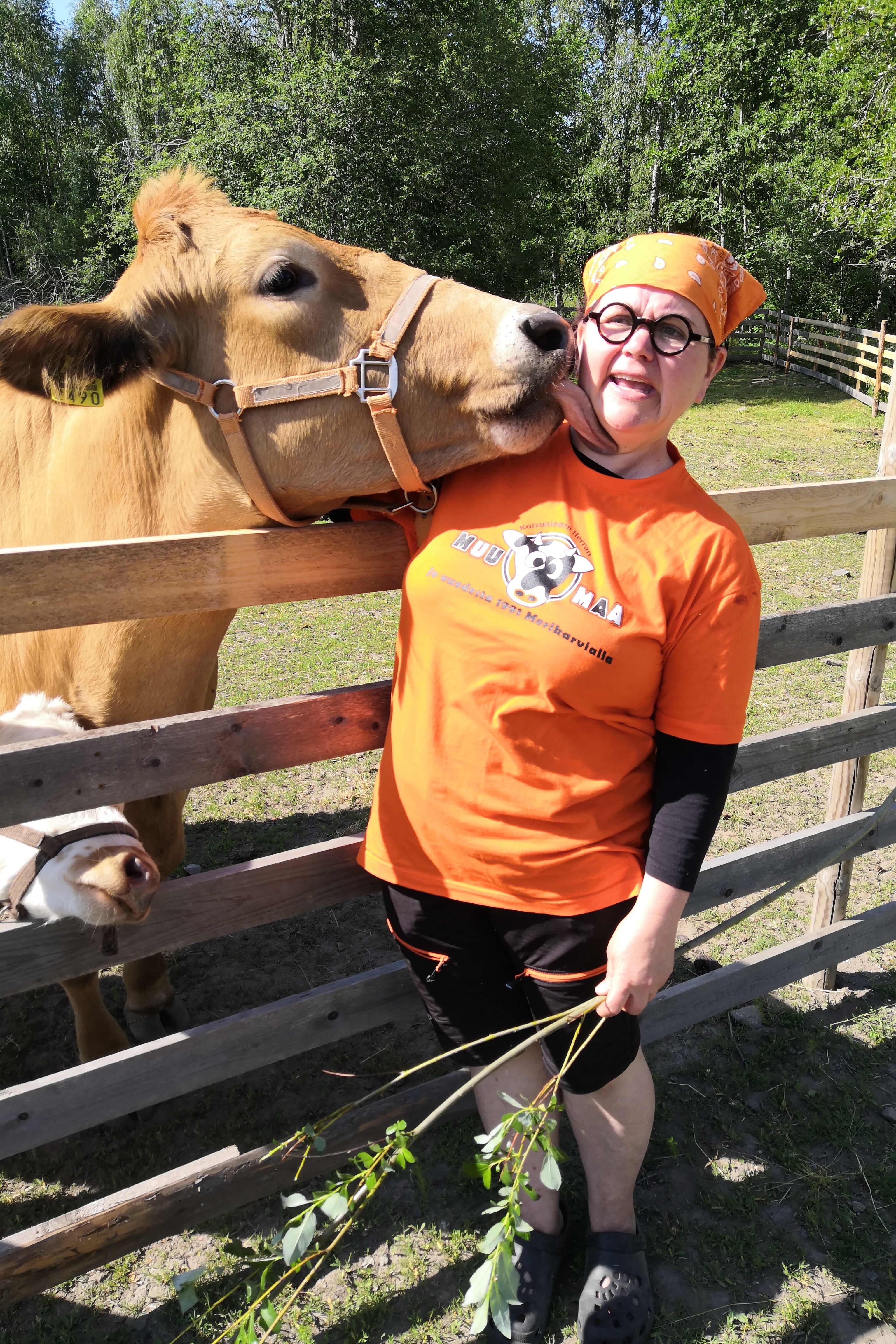 Lehmä nuolaisee naisen naamaa.