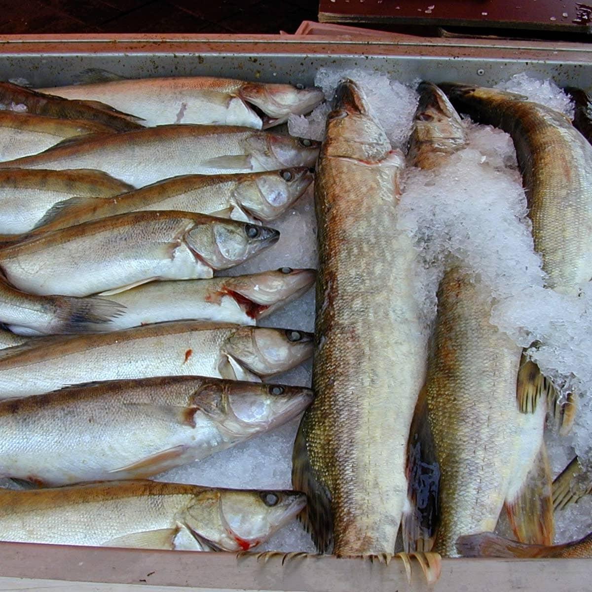 Suomalaiset syövät vuodessa kuhaa (vas.) 0,34 kilogrammaa ja haukea 0,44 kilogrammaa.