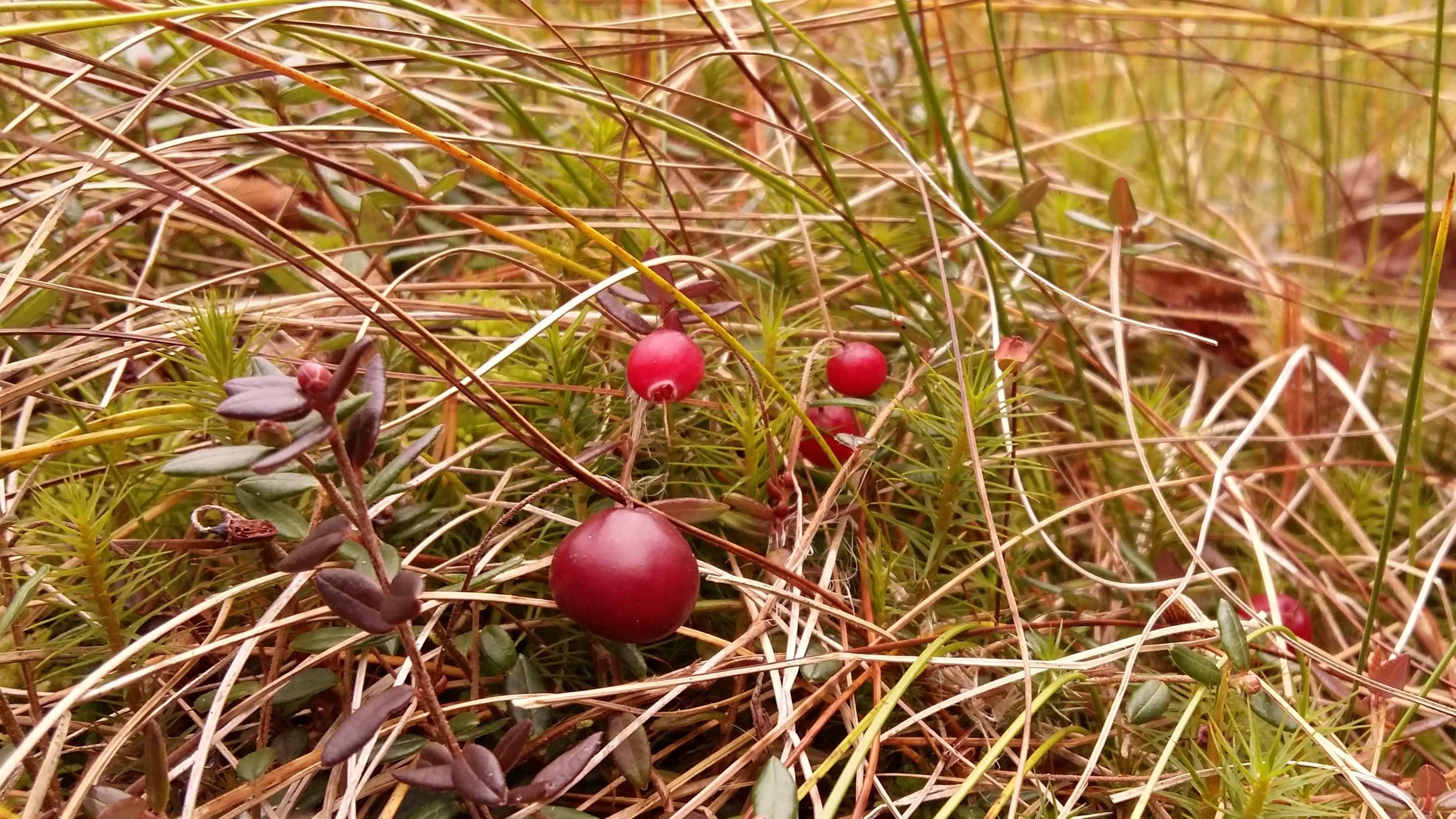 Röd tranbär växer i en mosse.