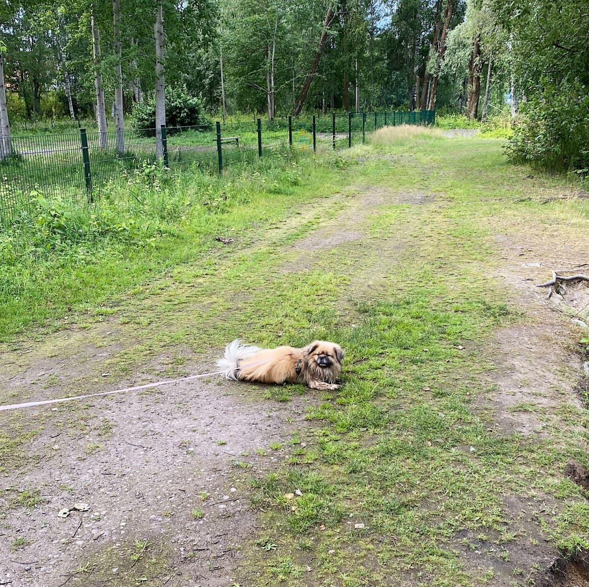 Sulo-koira makoilee nurmikolla.