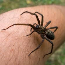 Iso ja karvainen eksoottinen hämähäkki jonkun miehen reiden päällä
