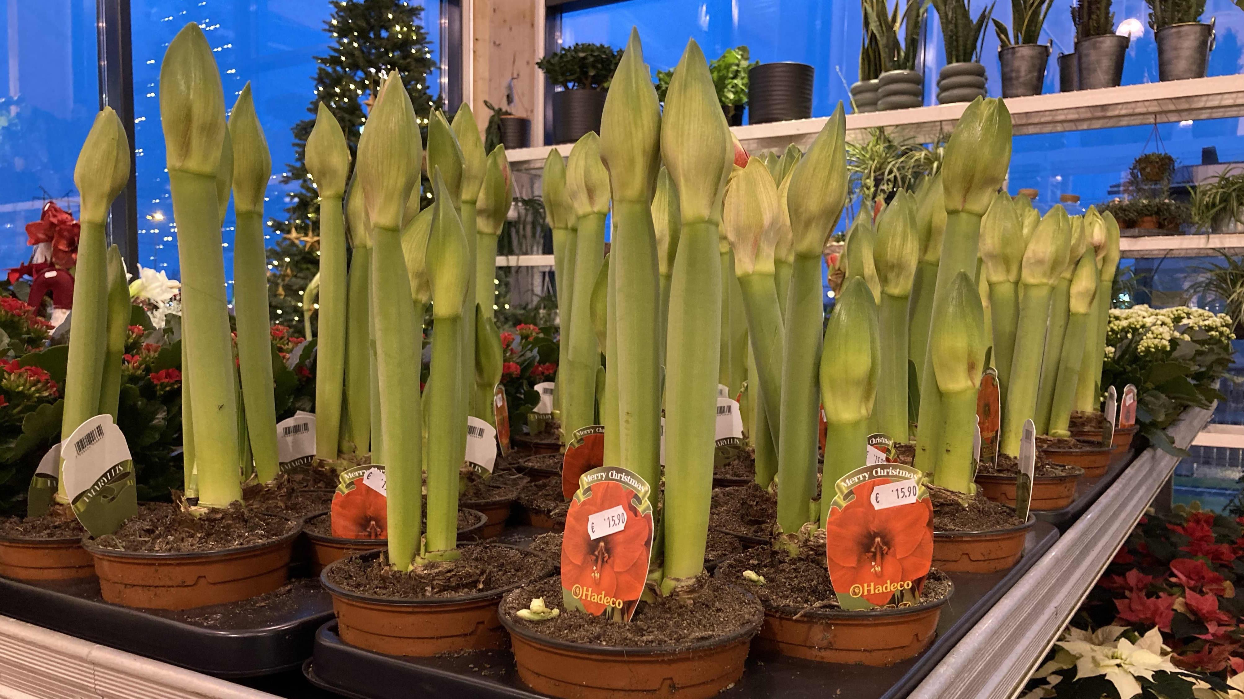 Kuvassa amaryllis-kukkia