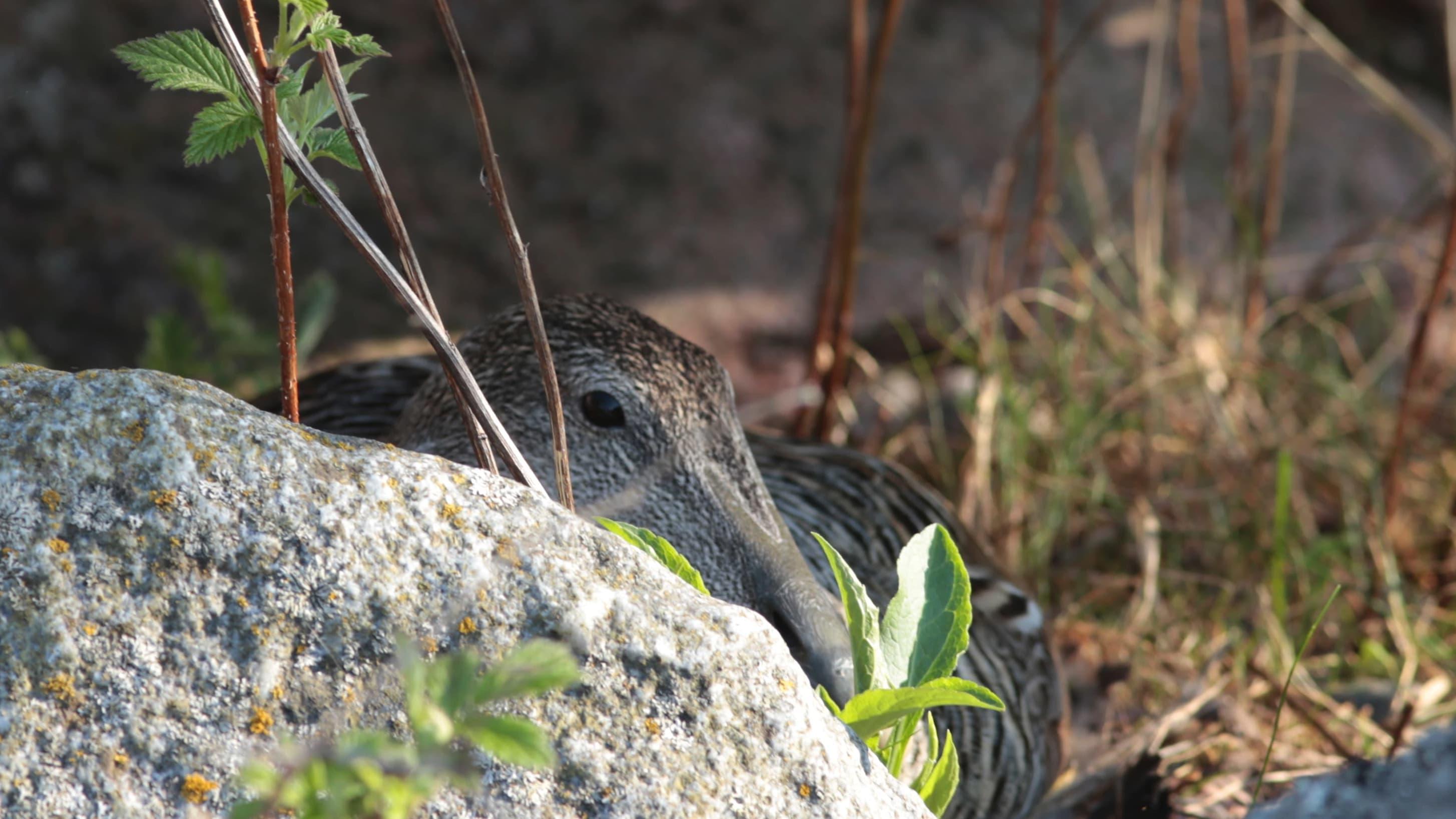 En ejderhona, åda, som gömmer sig bakom en sten. I förgrunden syns gräs.