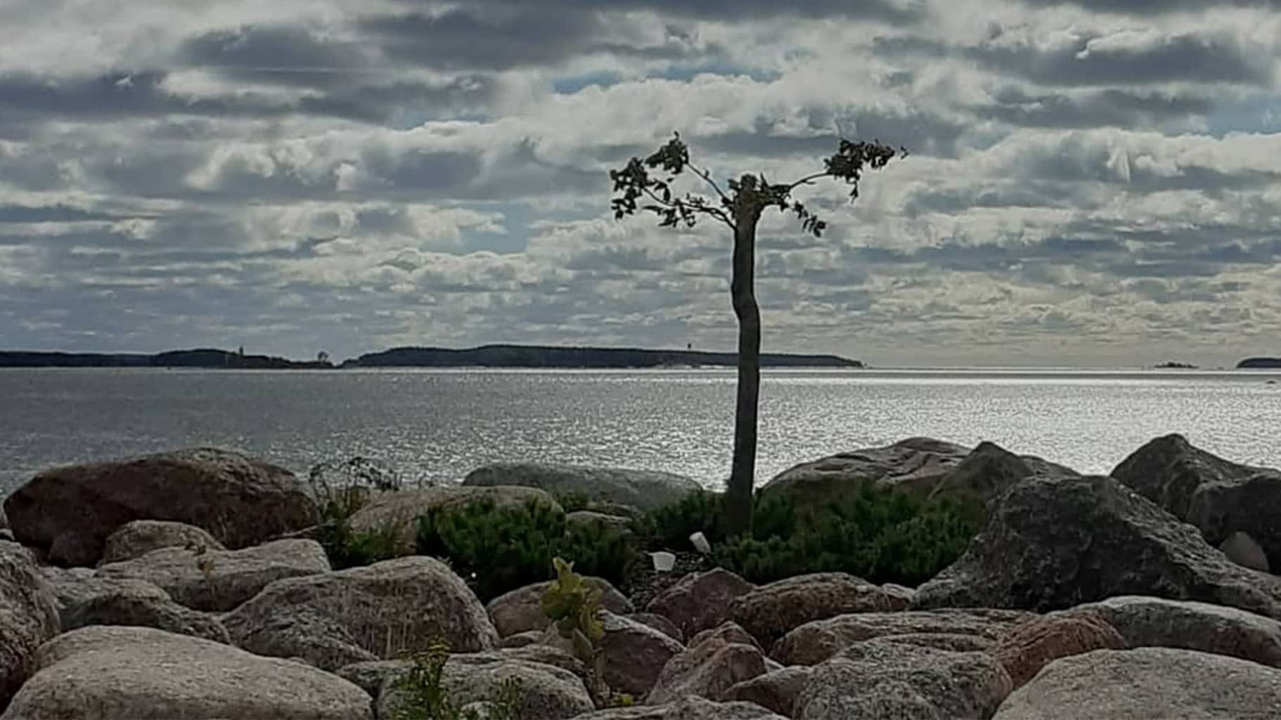 Katkottu saarnipuu Kuusisen aallonmurtajalla Kotkassa.