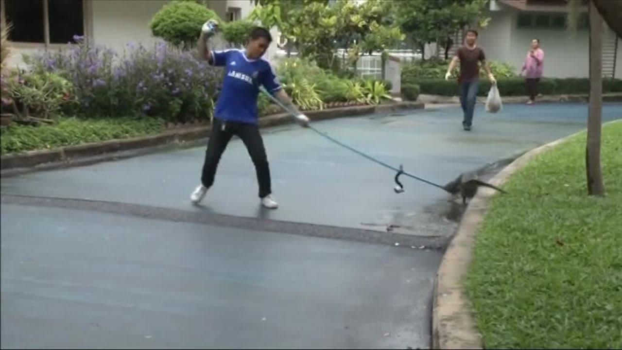 Uutisvideot: Video: Bangkokissa alkoi liskonmetsästys – varaanit ajetaan pois puistoista
