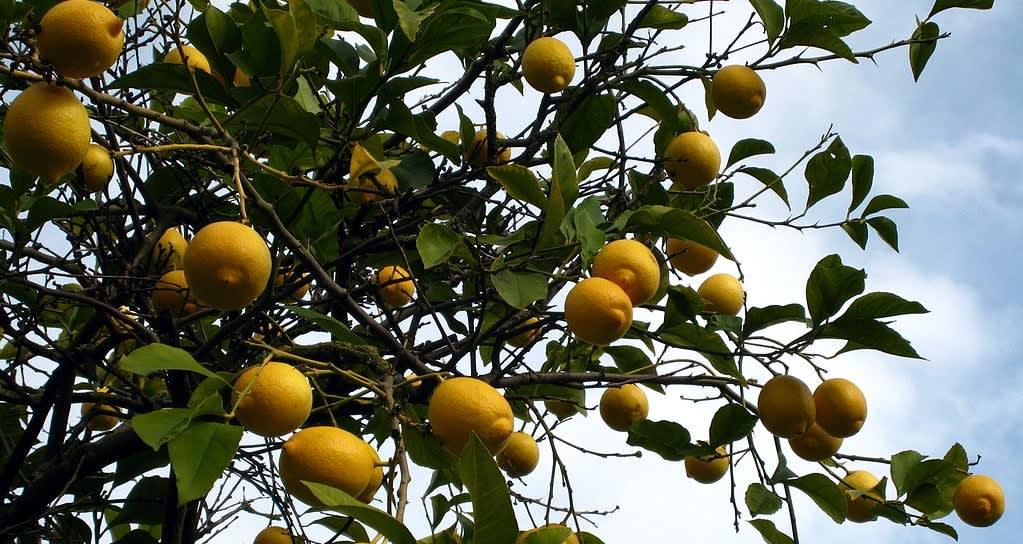 Hedelmiä kantavia sitruunapuun oksia sinitaivasta vasten.