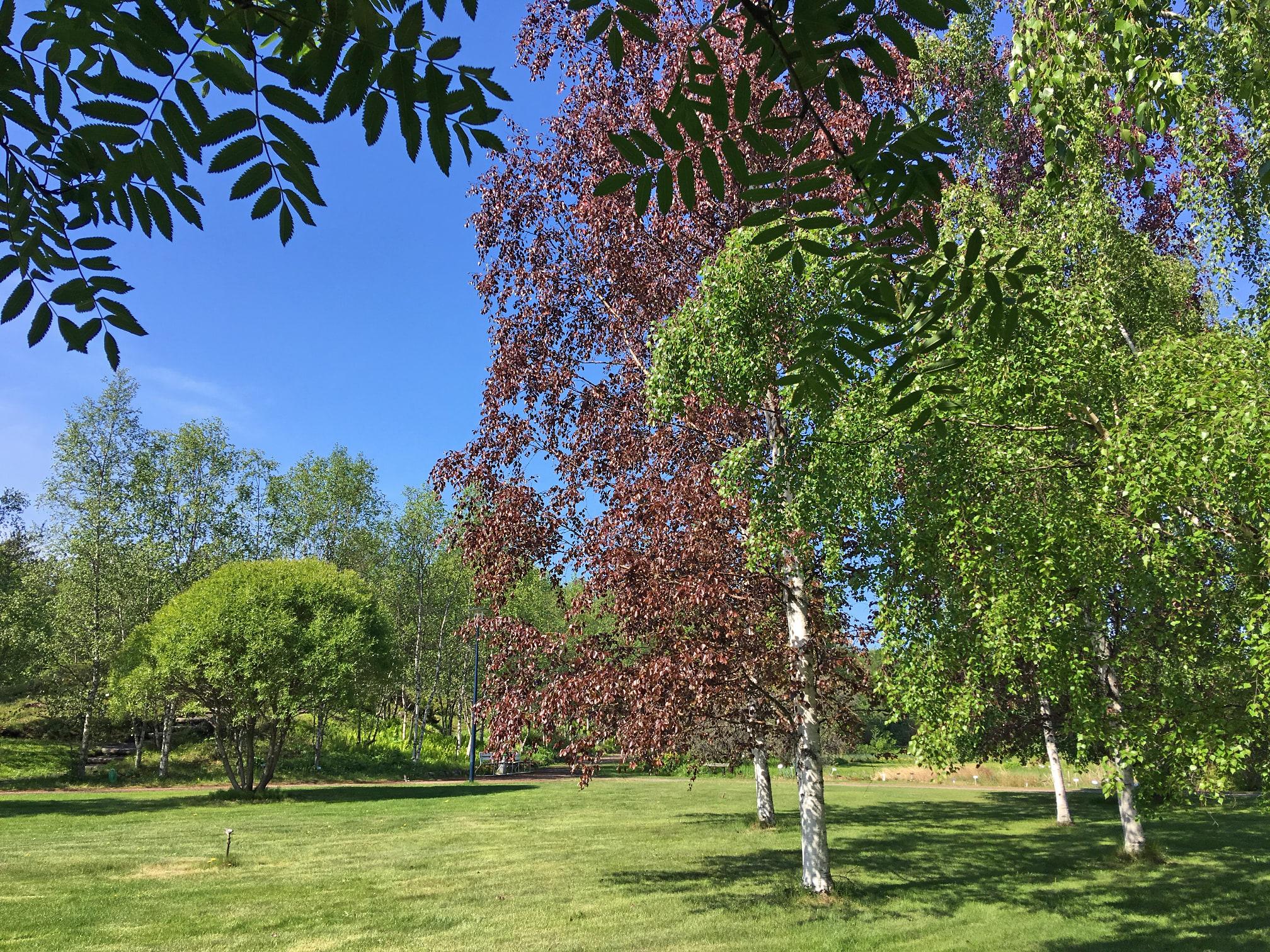 Punakoivuja Oulun yliopiston kasvitieteellisessä puutarhassa