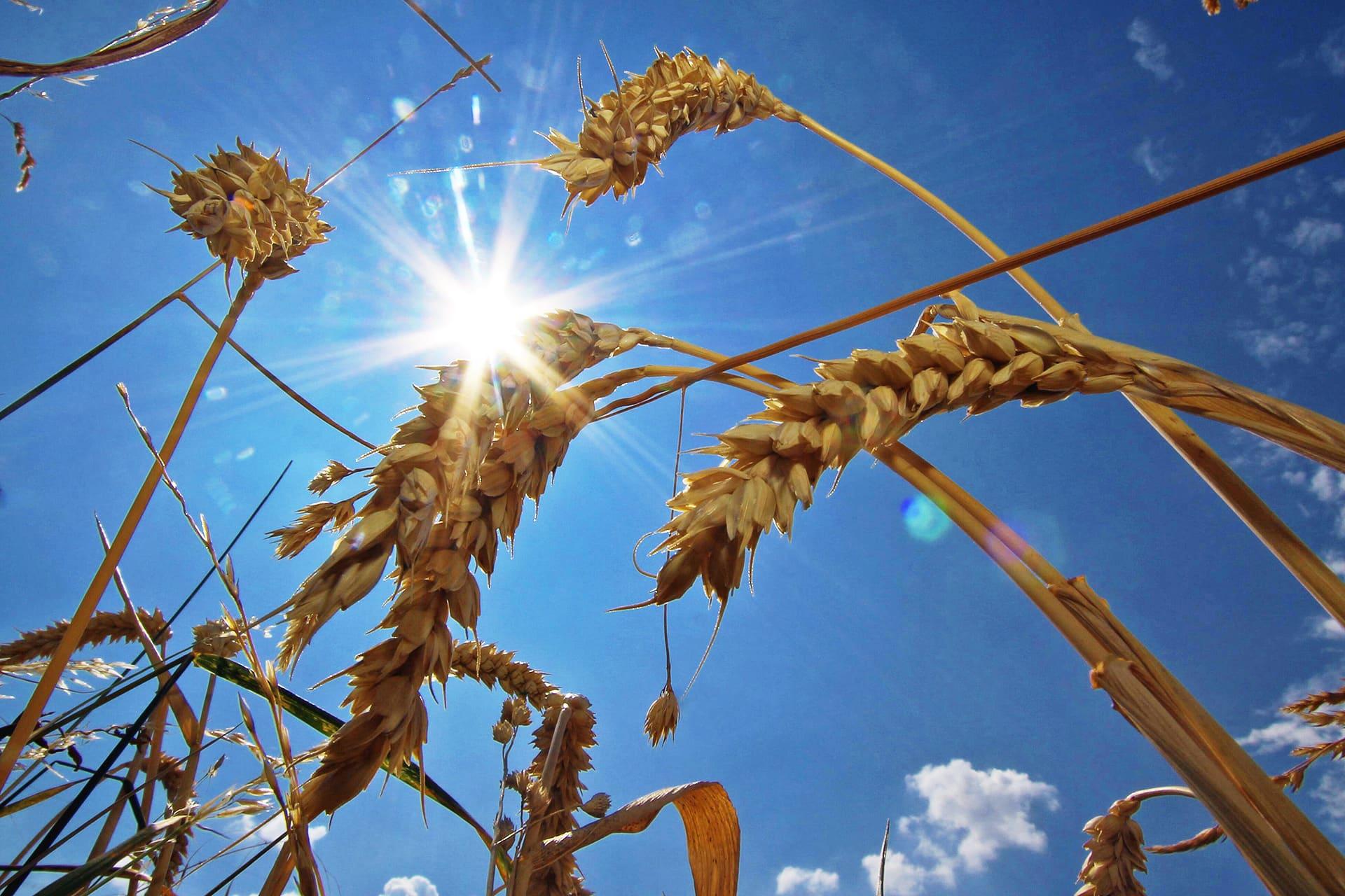 Kuivuudesta kärsivää vehnäpeltoa.