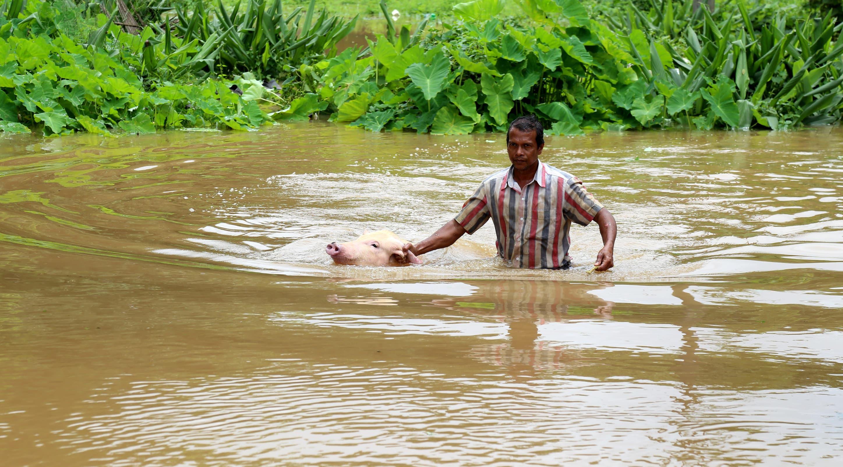 Paikallinen asukas pelastaa tulvan mukaansa huuhtomaa sikaa Varapuzha Kochissa, Keralassa.