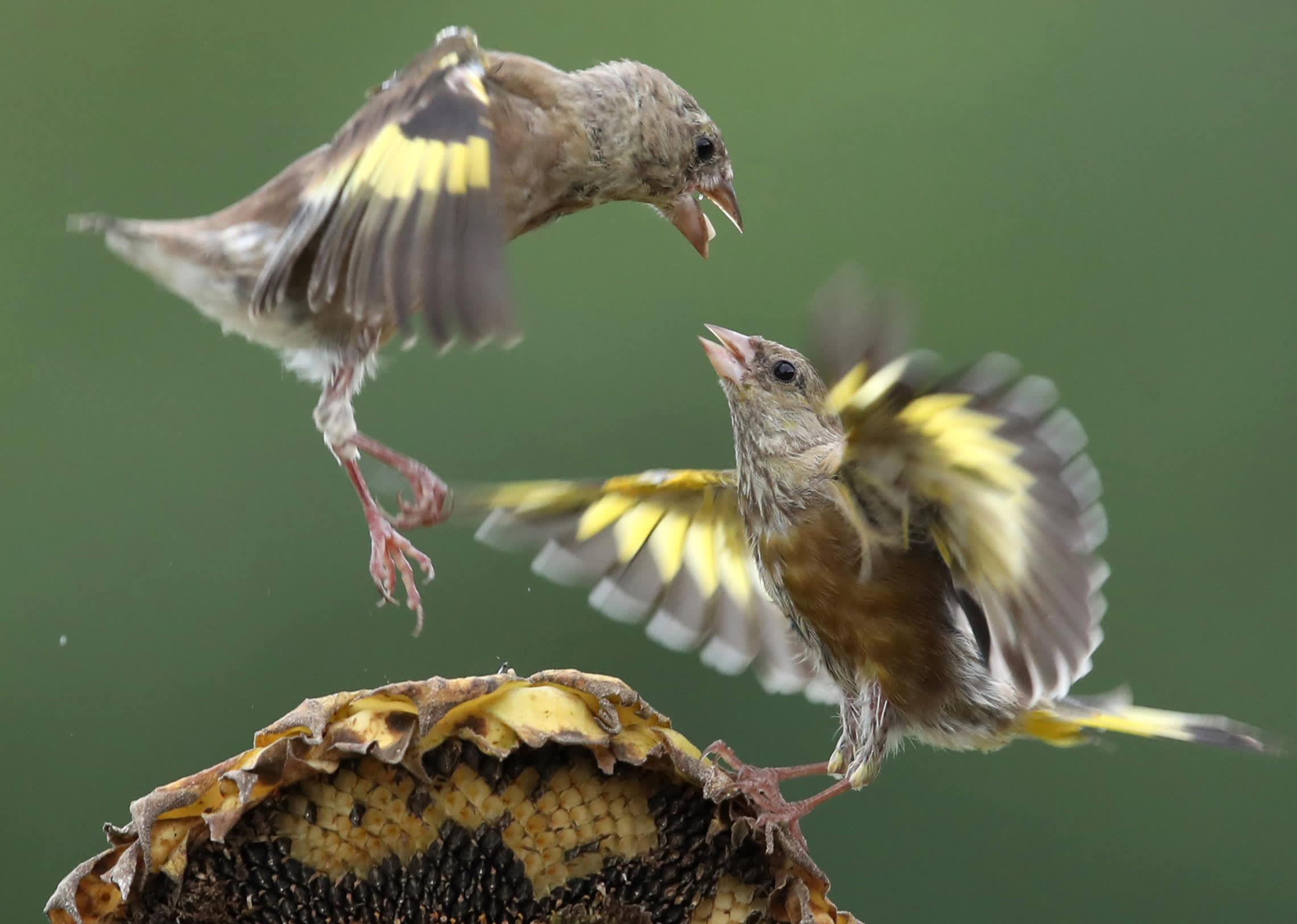 Linnut kilpailevat auringonkukansiemenistä Etelä-Koreassa.