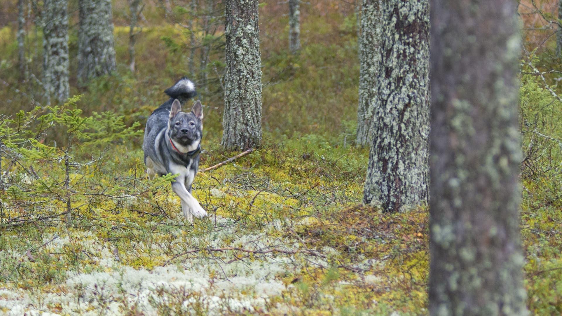 hirvikoira metsästyskoira koira lemmikki juoksee vapaana