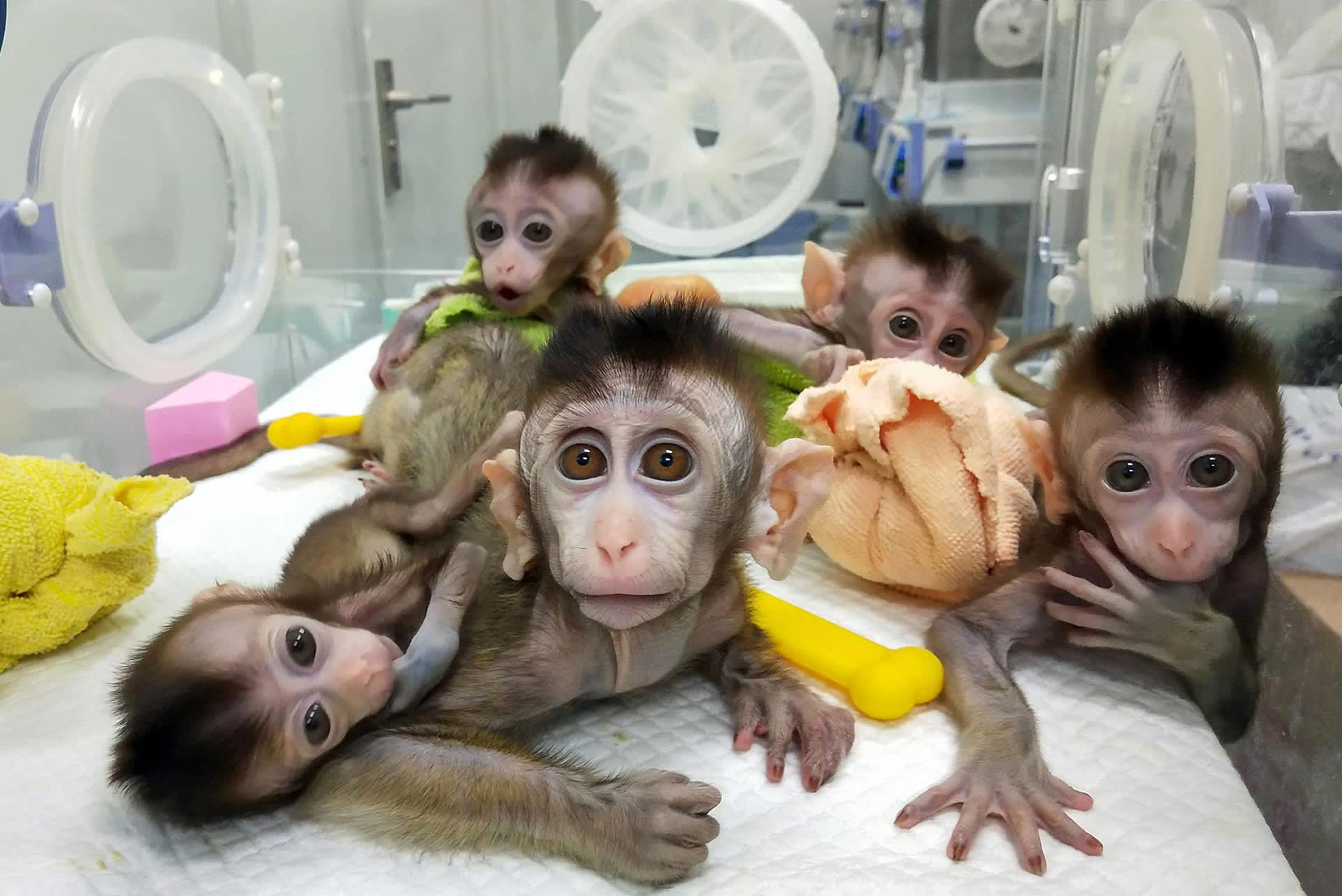 Kloonatut makakit tutkimuskeskuksessa Shanghaissa.