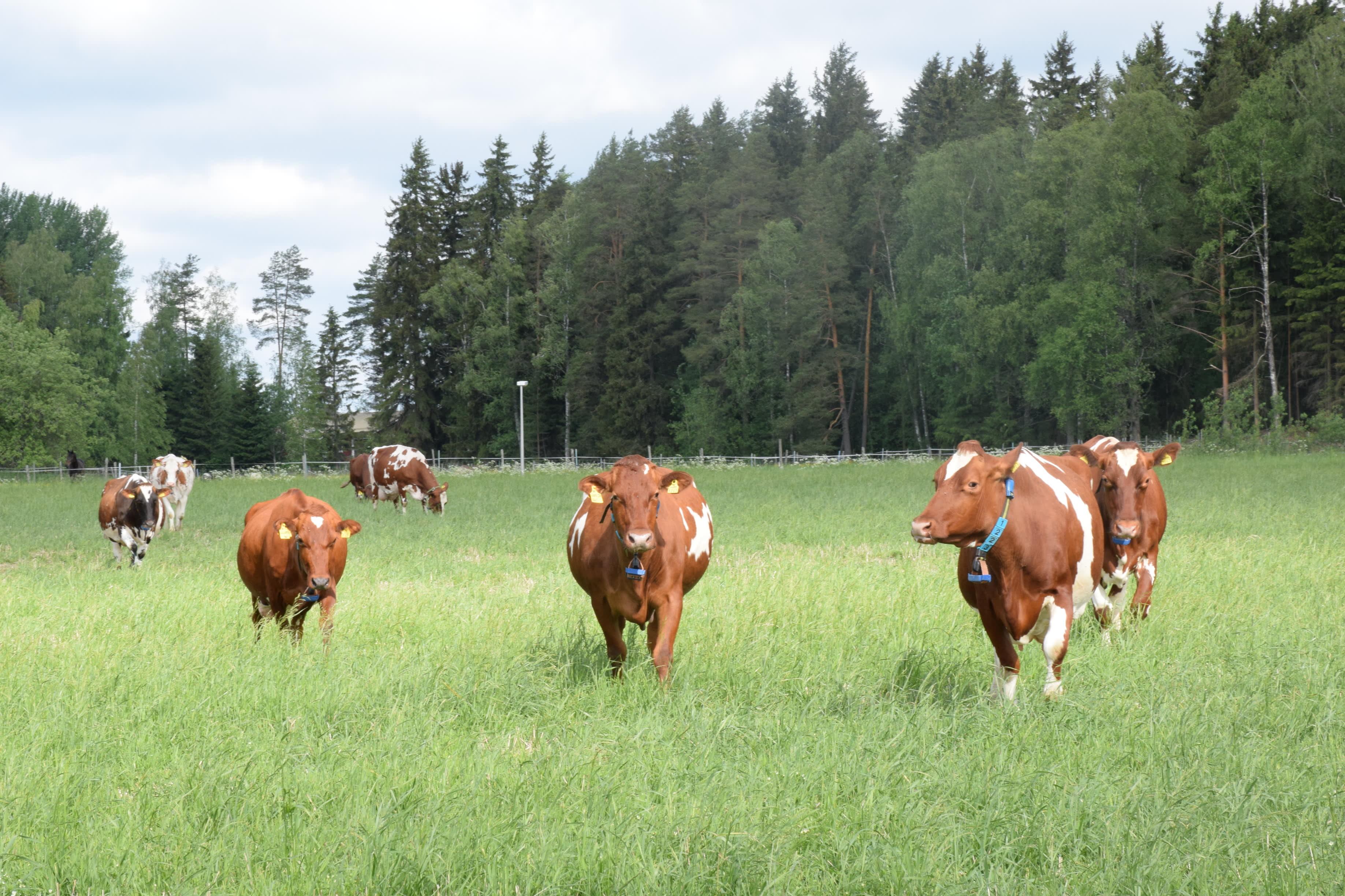 Lehmät kävelevät kohti kameraa kesäisellä laitumella