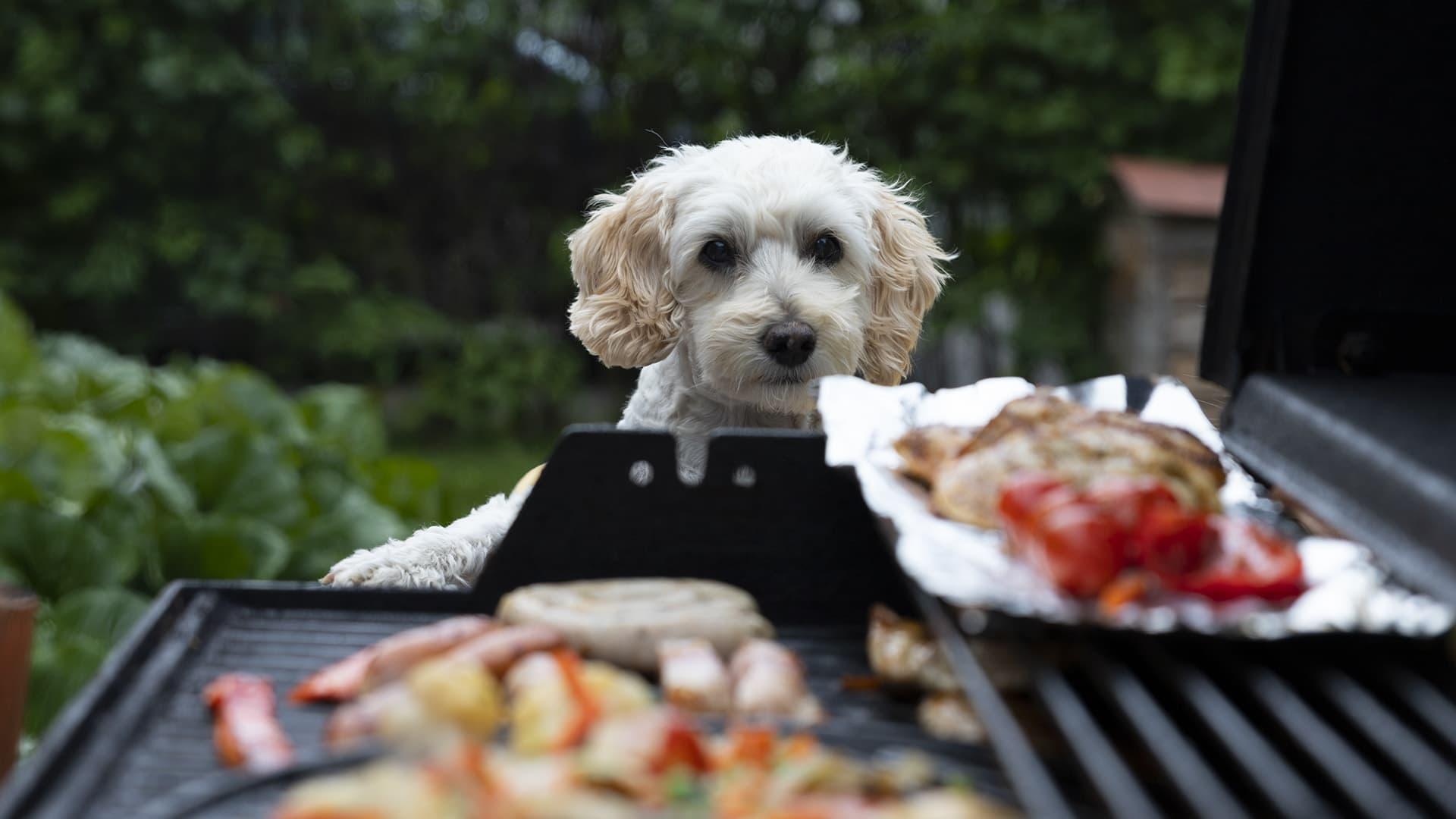 Grillissä valmistettavien ruokien ongelma on eläinlääkäreiden mukaan korkea rasvapitoisuus ja mausteet, jotka etenkin suurina määrinä yhdessä aiheuttavat koirille huonovointisuutta.