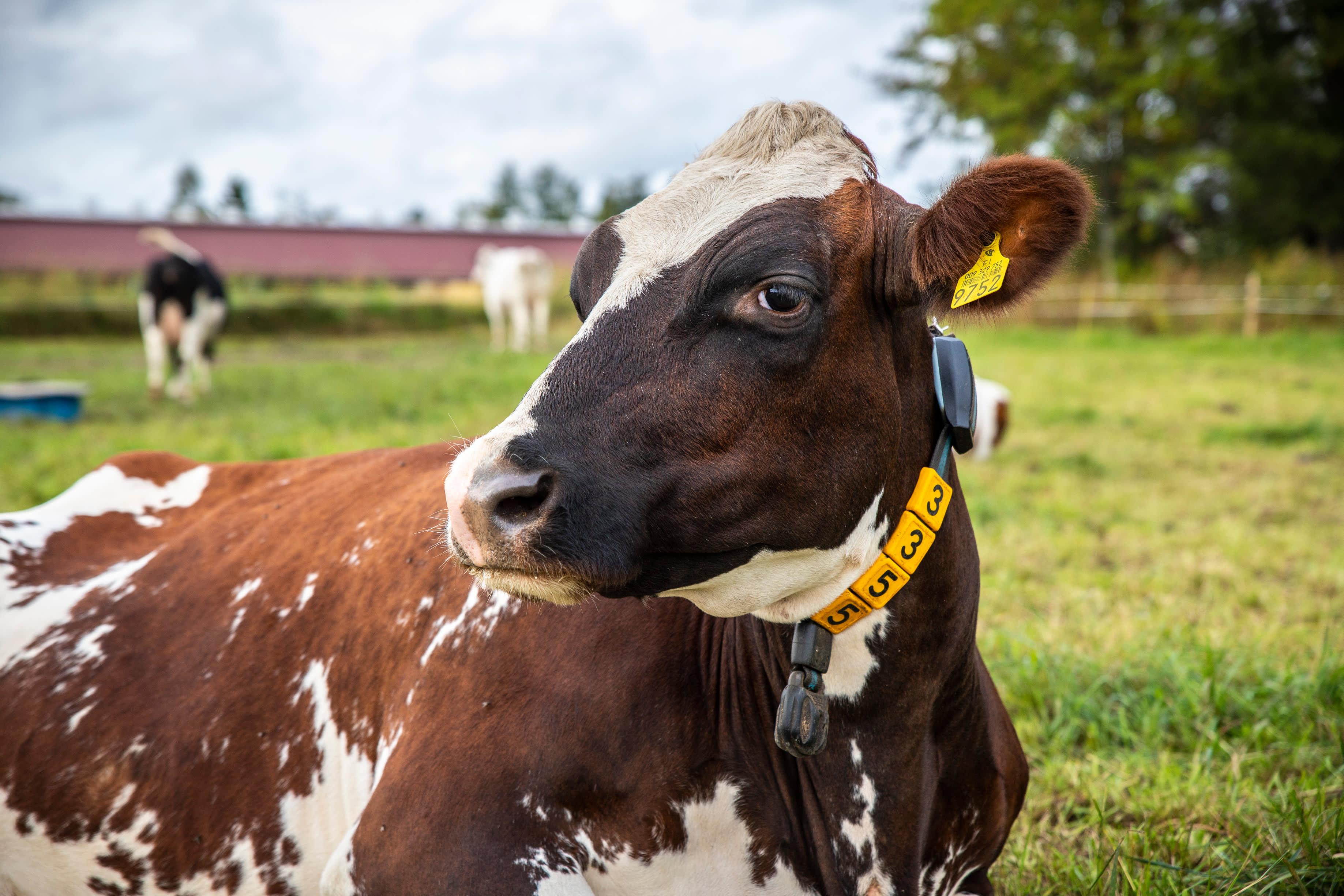 Aula lehmä makailee laitumella Luken tilalla.