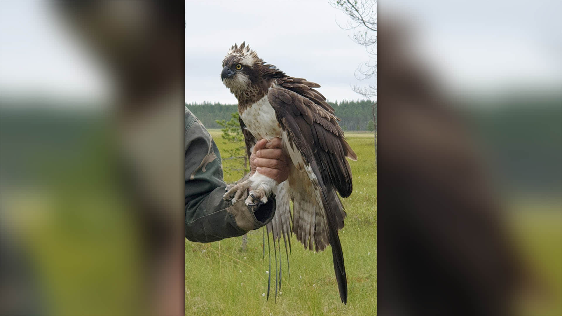 Mies pitää lintua kiinni jaloista