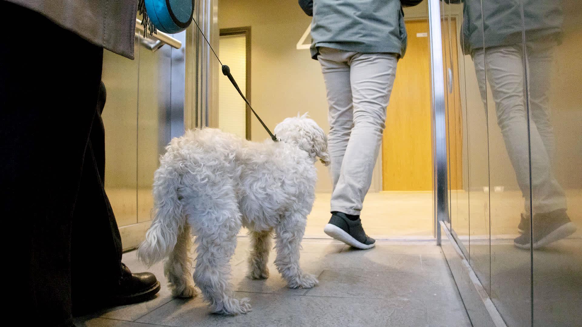 Koira lähdössä hissistä ihmisen perässä.