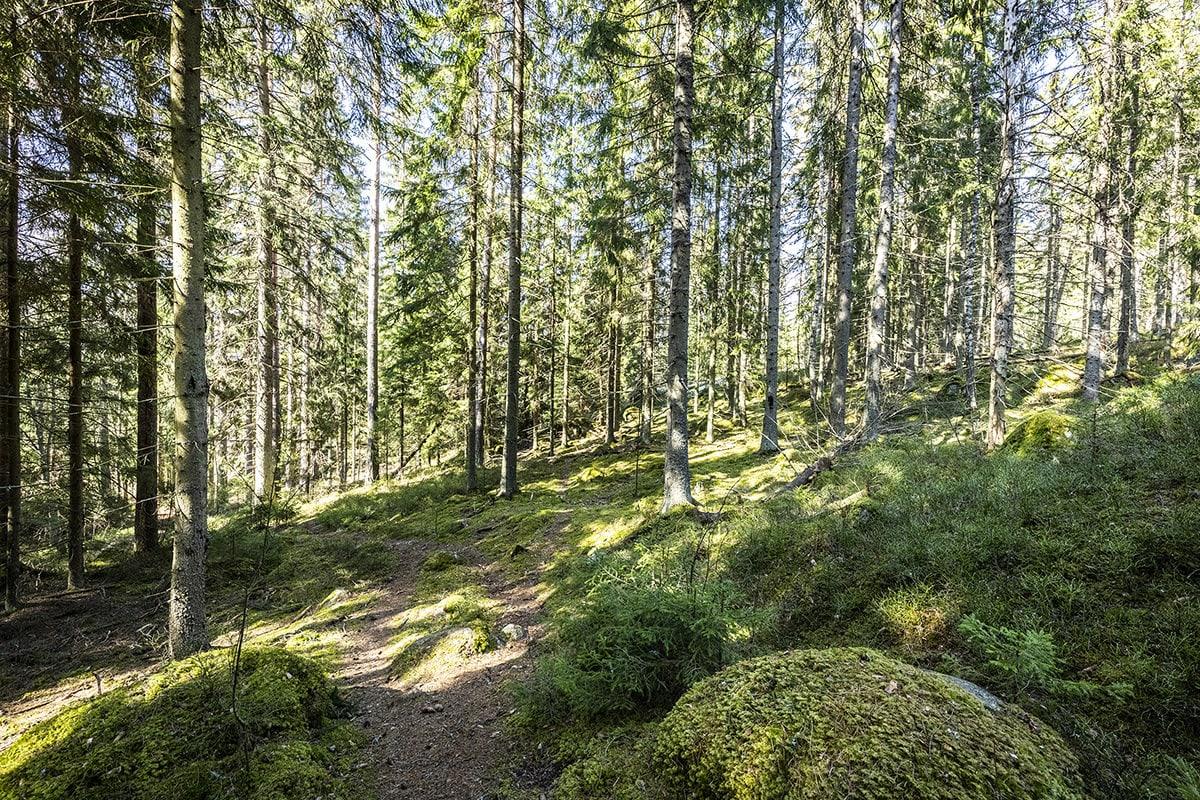 Metsää Espoon Velskolassa