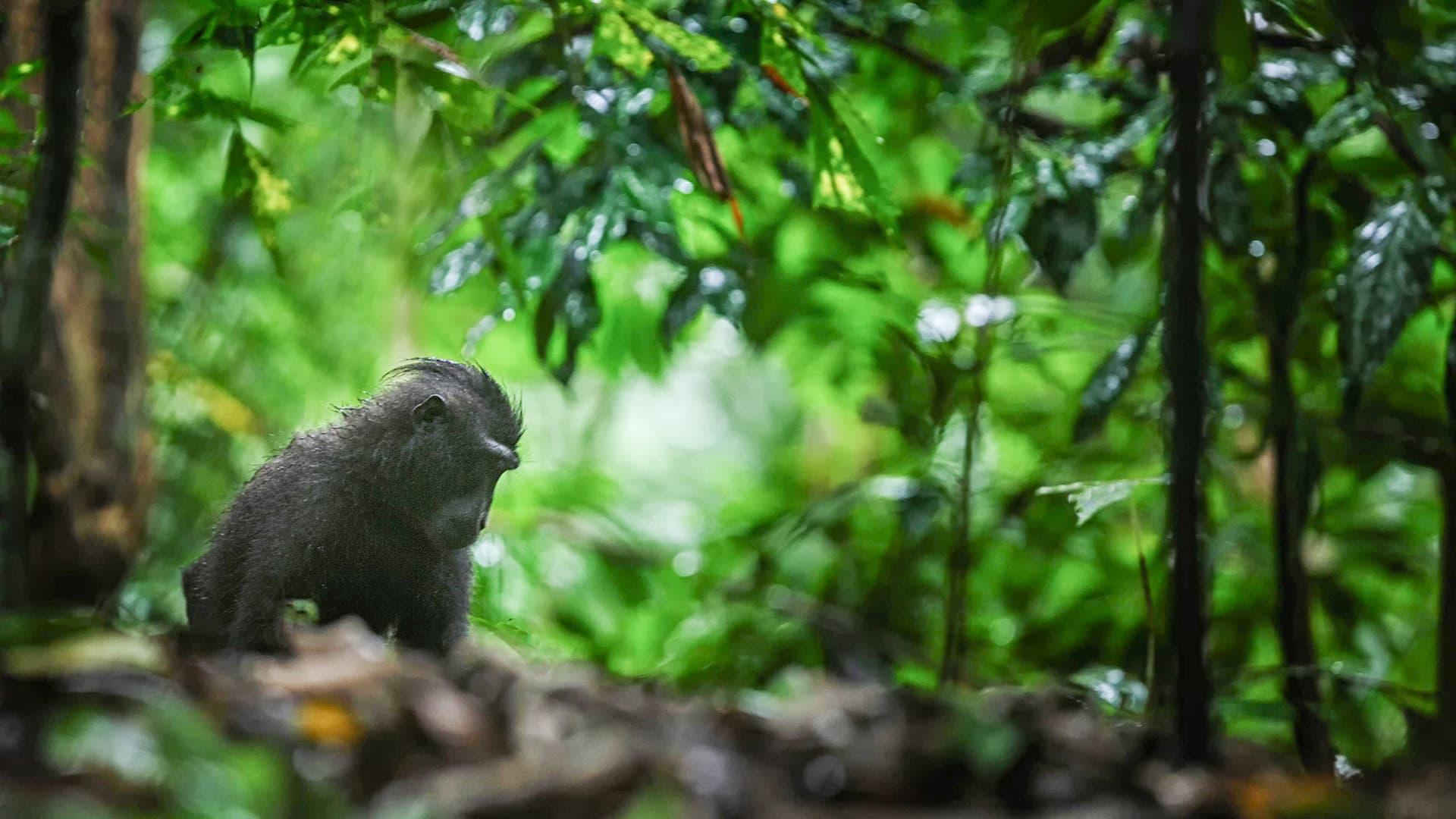 Makaki istuu sademetsässä.