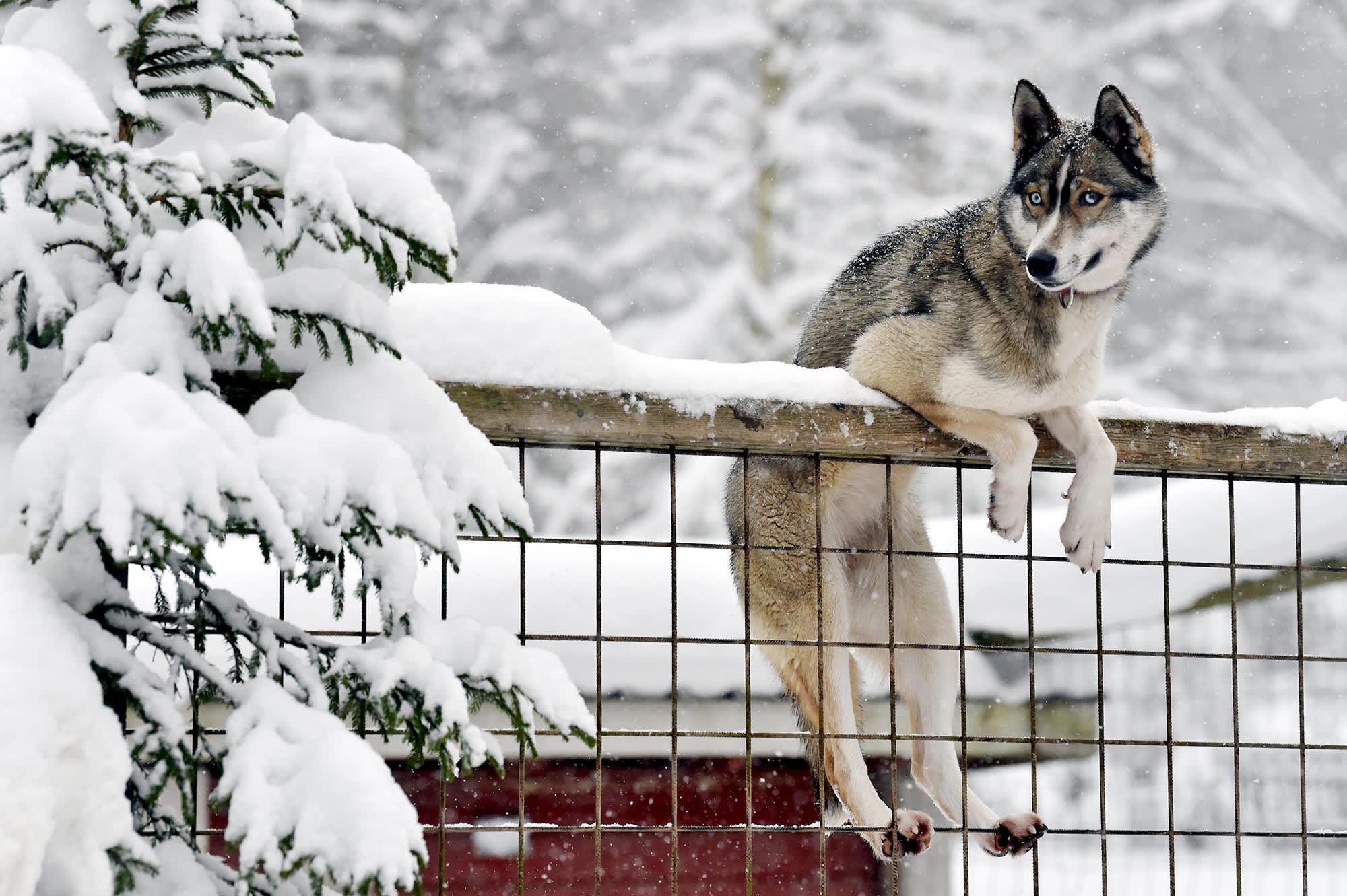 Husky notkuu aidalla Heinolan Huskypuistossa.