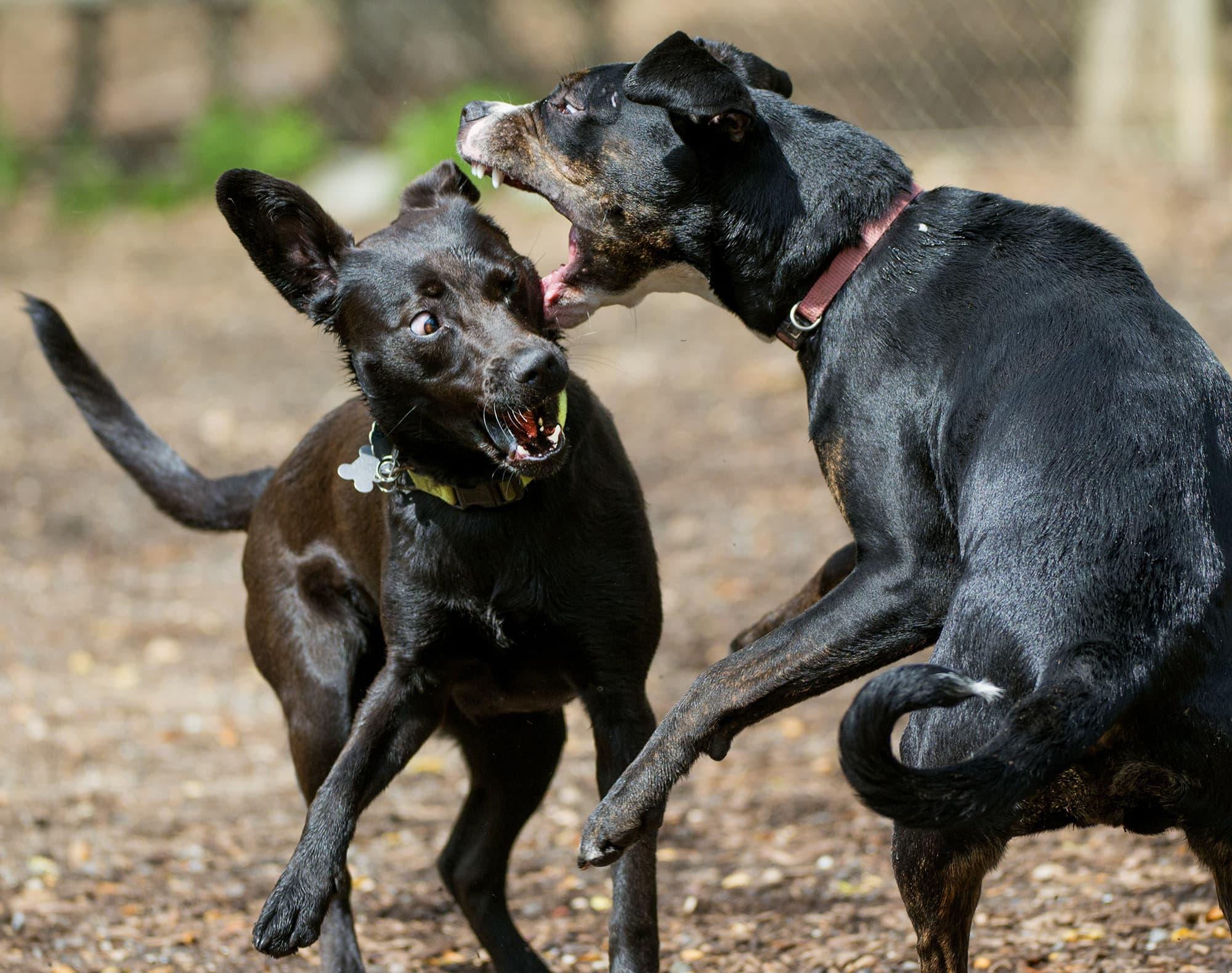 Kaksi koiraa leikkivät koirapuistossa.
