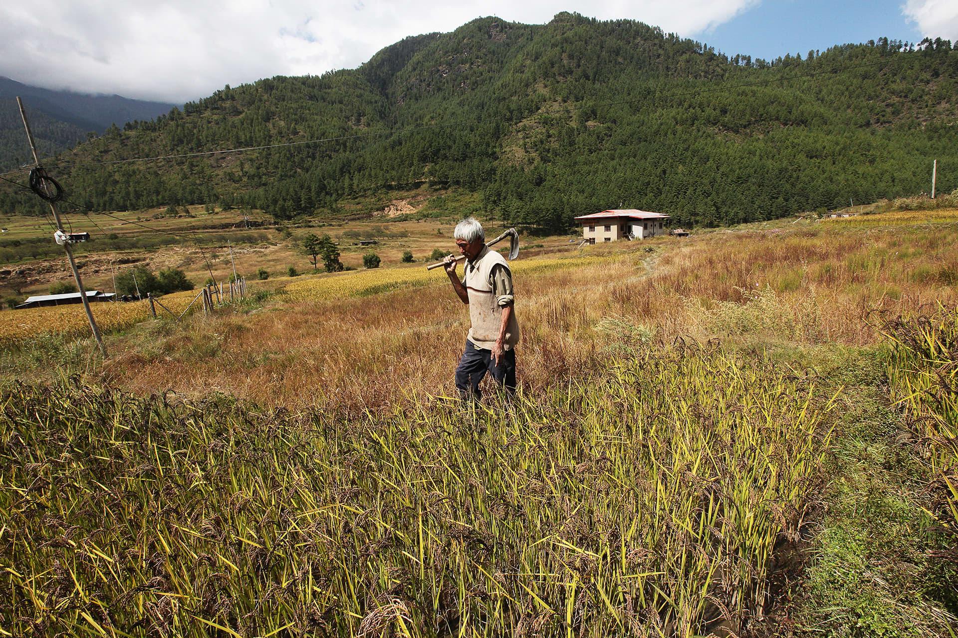Bhutanilainen viljelijä kävelee pellolla