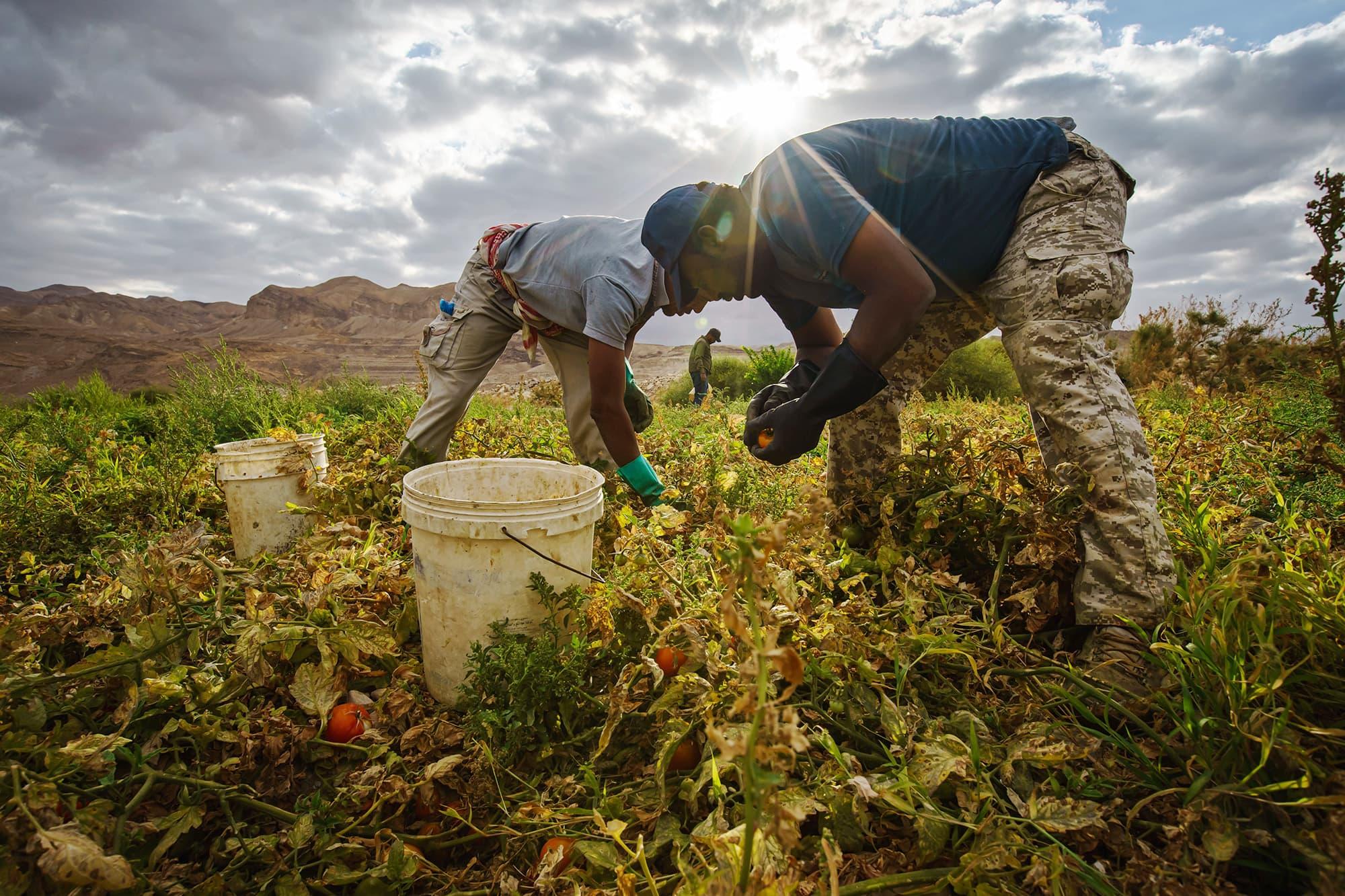 Työntekijät keräävät tomaatteja pellolta Jordaniassa.