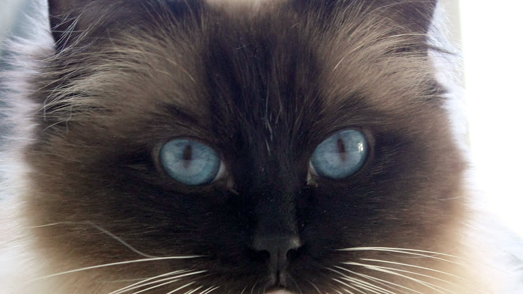 Ragdoll-kissalla on siniset silmät.