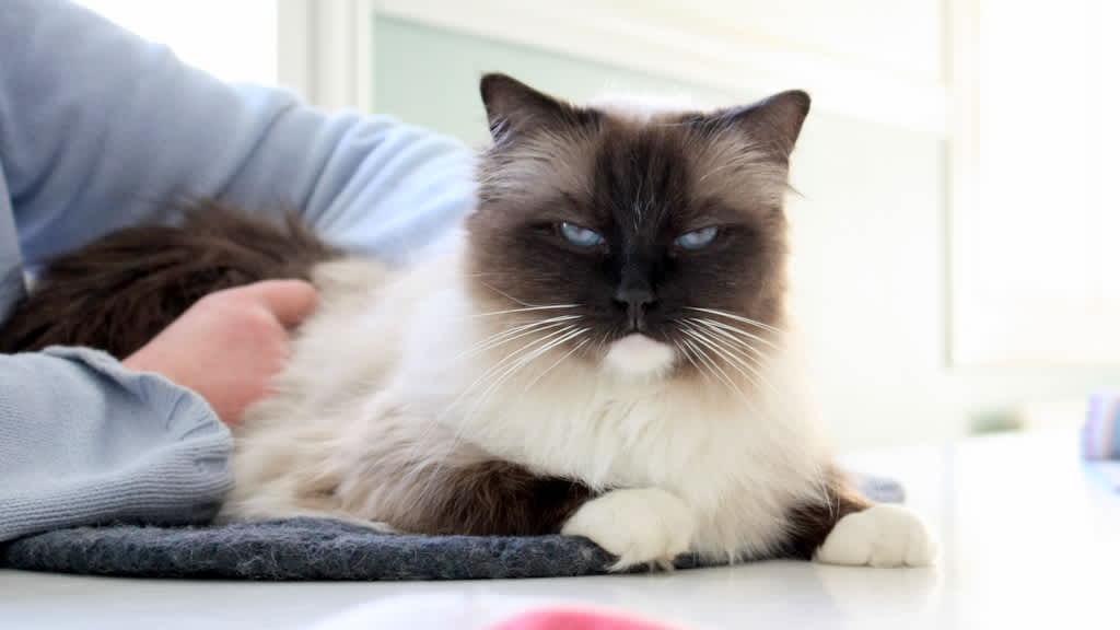 Kissa makaa pöydällä.