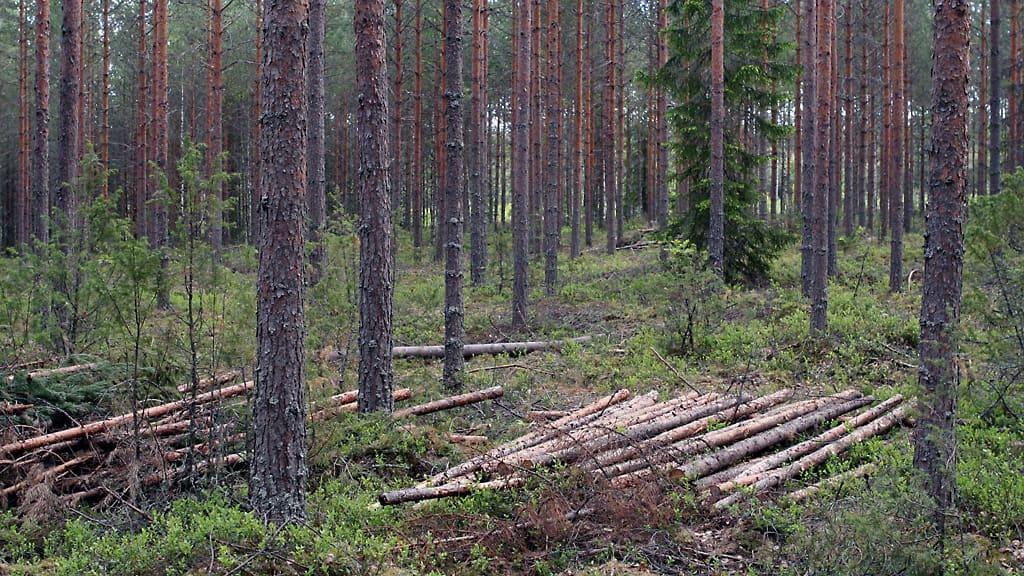 Männikössä hakattu metsää