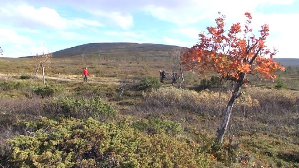 Punainen ruskapihjala Pallaksen maisemissa