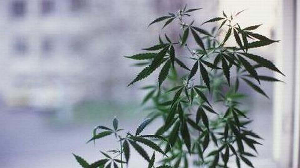 Kannabis sativa