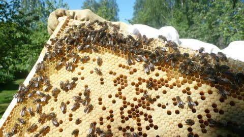 Mehiläisiä kennonrakennuspuuhissa.