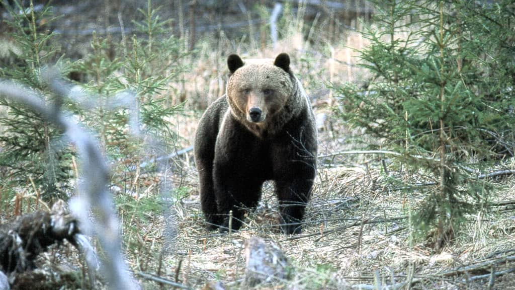 Karhu metsämaisemassa.