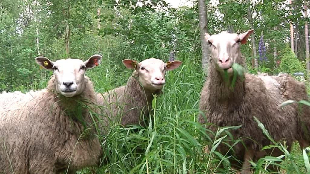 Lampaat selviävät koko kesän niityn antimilla.
