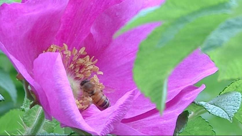 Mehiläinen kukassa.