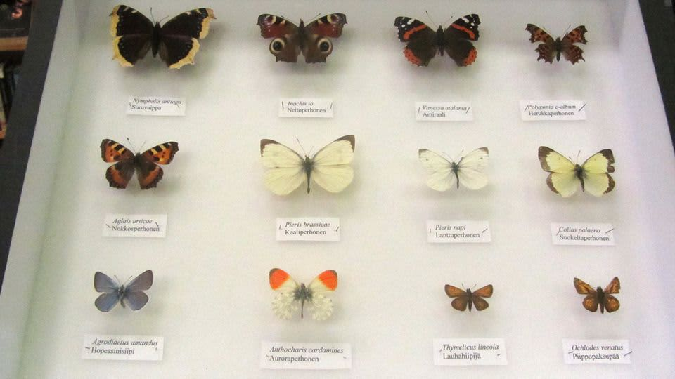 Kuvassa näyte Mauri Peltokankaan keräämistä perhosista
