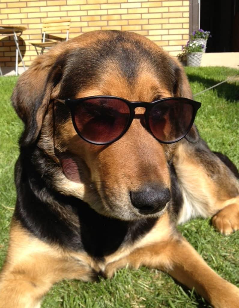 Koira makoilee nurmikolla aurinkolasit päässään.
