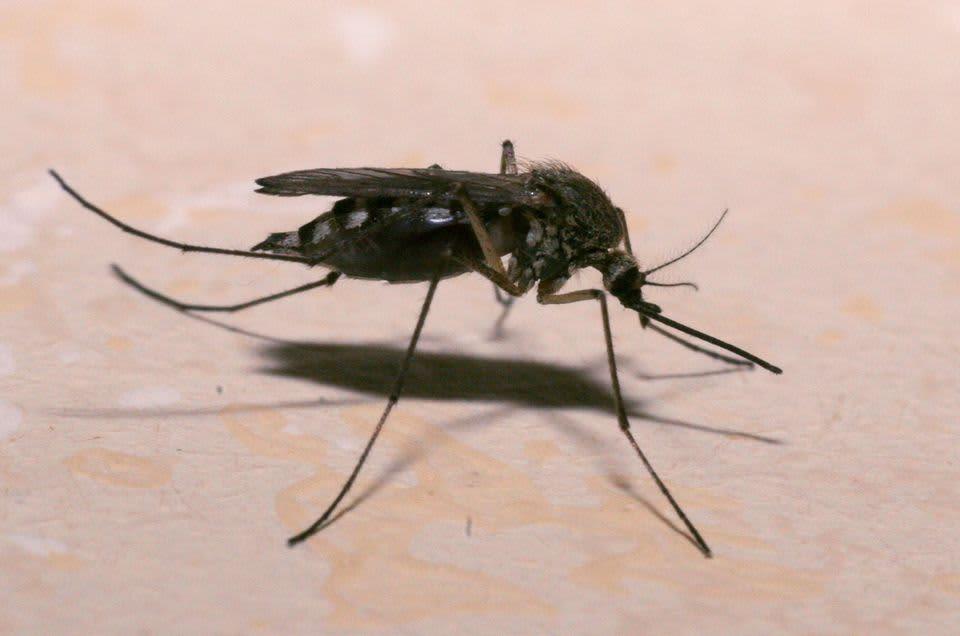 Hyttynen.