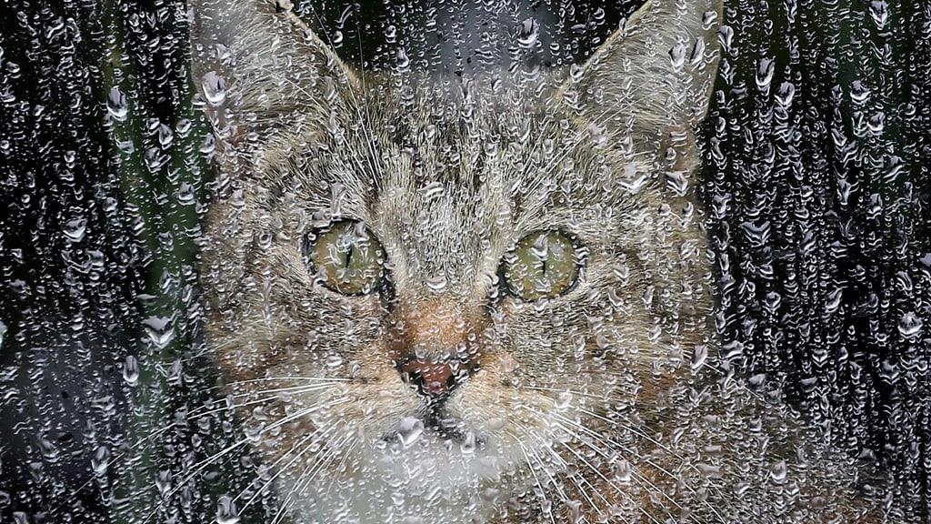 Kissa tuijottaa sadepisaraisen ikkunan läpi.