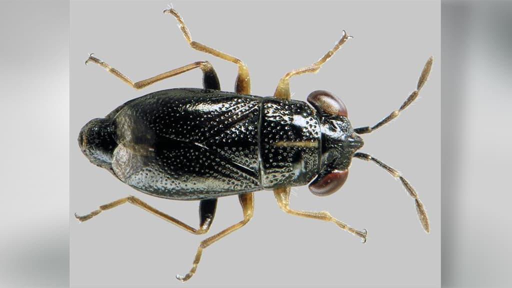 viirukangaslude (Geocoris ater)