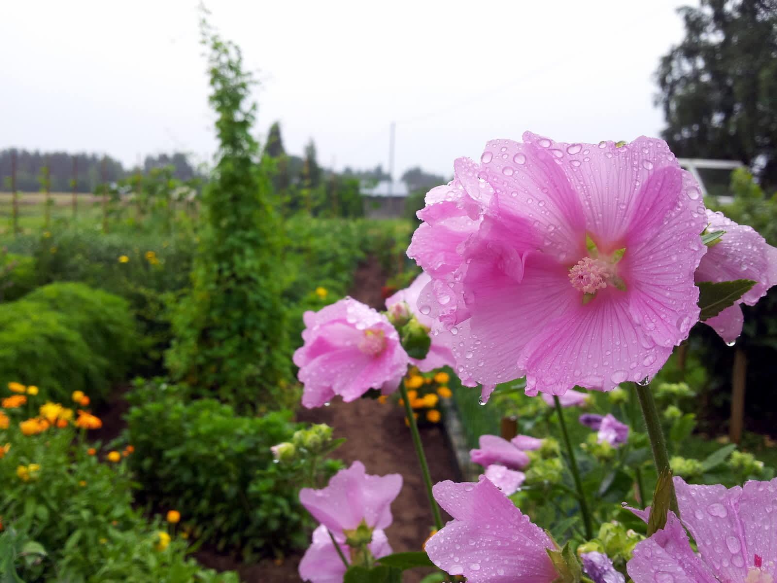 Malva kukkii