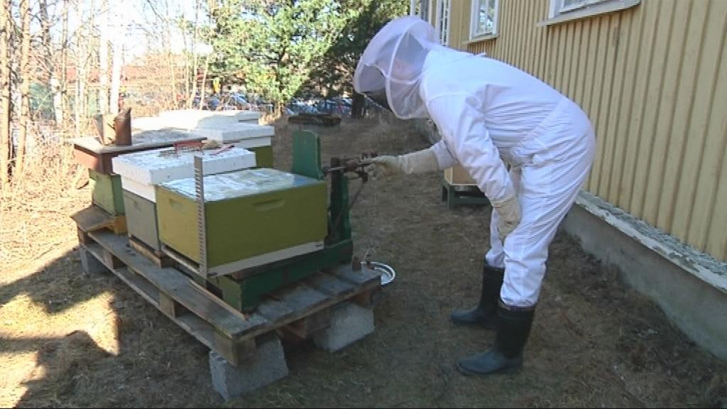 Mehiläishoitaja punnitsee pesää Joensuussa.