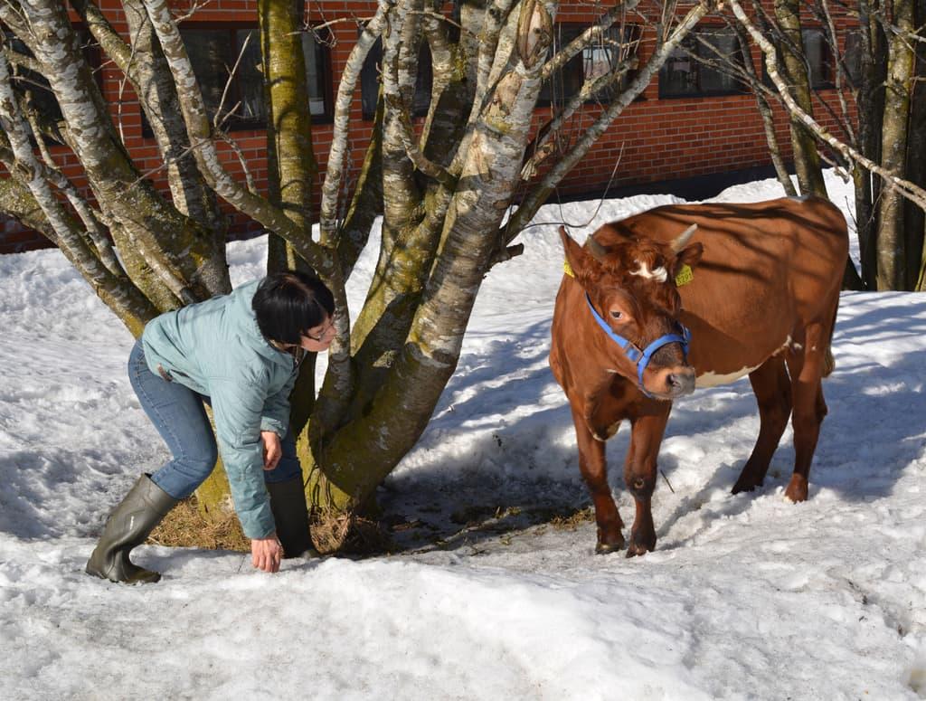 Emäntä Helena Okkonen leikkii ulkona Jouluruusu-lehmän kanssa.