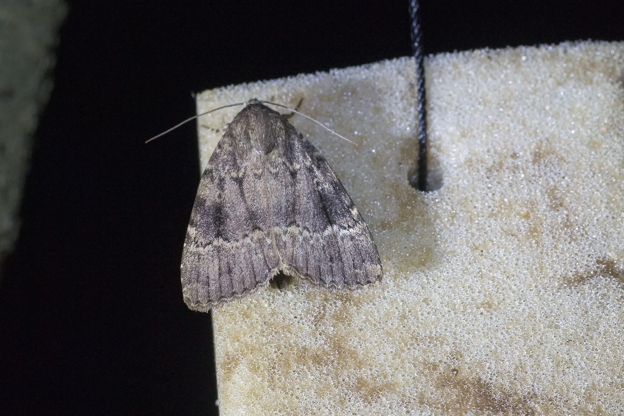 Kainuusta löytyi uusi perhoslaji. Kuvassa hohtopensasyökkönen.