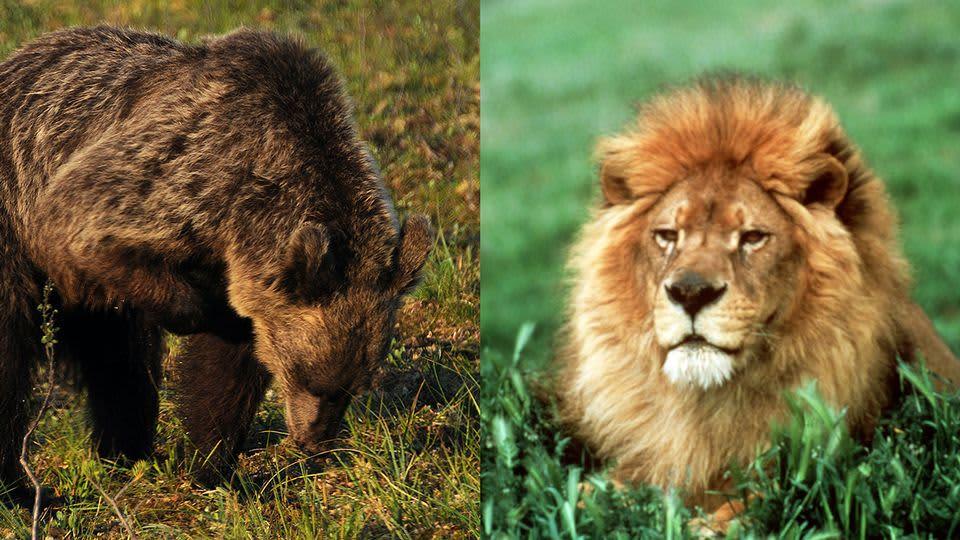 Karhu ja leijona