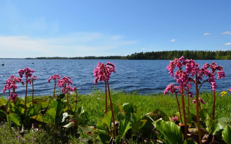 Kukkia Kallaveden kupeella Kuopiossa